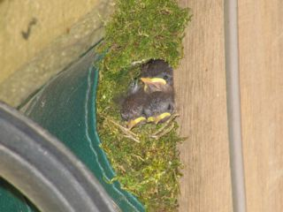Wren nest in Shropshire (Susie and Dick Quan-Taylor)