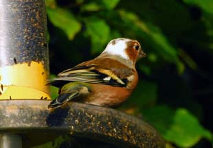 Chaffinch (Terry Aspittle)