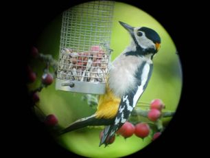 Great Spotted Woodpecker (Ben Green)