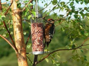 Great Spotted Woodpecker (Karl Pipes)