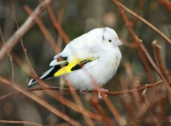 Goldfinch (Tony Hunns)