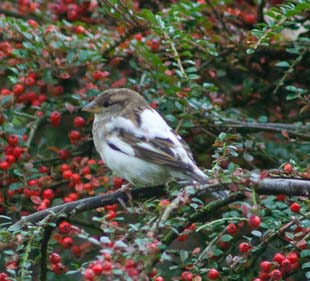 House Sparrow (Erica Bower)