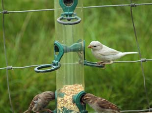 House Sparrow (Lar Cann)