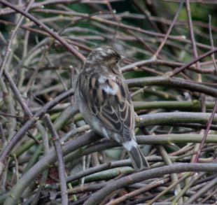 House Sparrow (Lynn Lonnen)