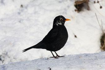 Blackbird (Joyce Rae)