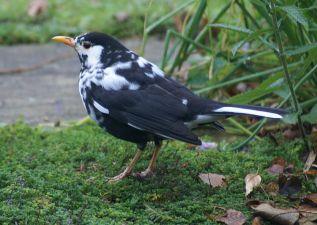 Blackbird (Dennis Simpkin)