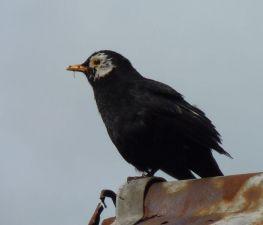 Blackbird (Finlay Dowell)
