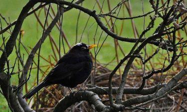 Blackbird (Freddie Ingall)