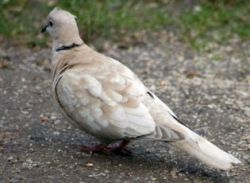 Collared Dove by Pauline Warman