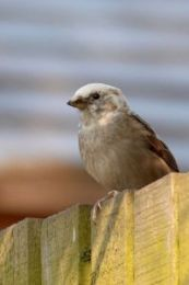 House Sparrow (Malcolm McGhee)
