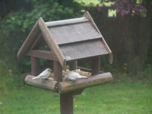 House Sparrow fledglings (Beryl Perry)