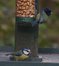 Blue Tit (Andrew Cook)