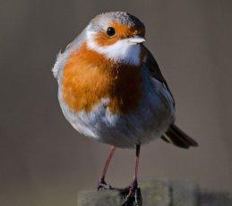 Robin (Ian Wilson)