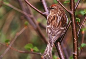Lesser Redpoll by Tommy Holden
