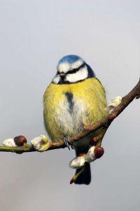Blue Tit by Jill Pakenham