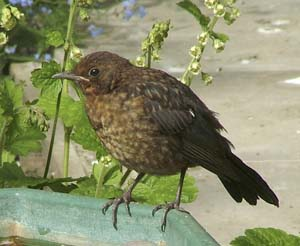 Juvenile Blackbird, by Josie Latus