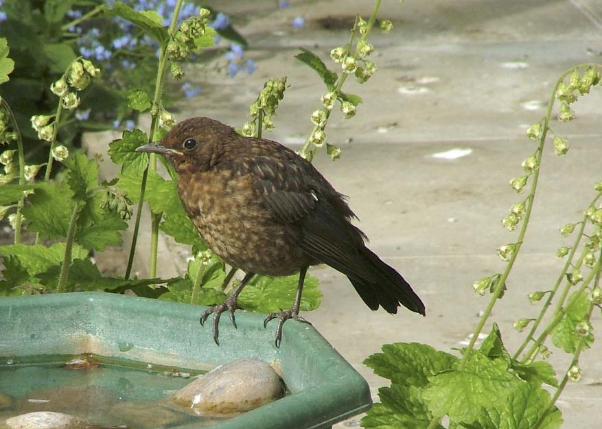 Identifying young birds | BTO - British Trust for Ornithology
