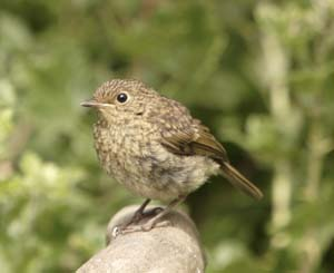 Juvenile Robin, by John Proudlock