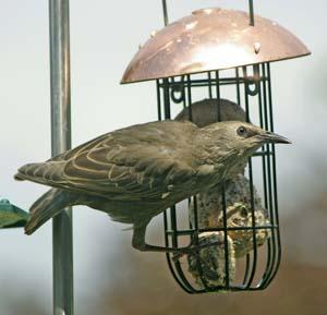 Juvenile Starling, by Christine Matthews
