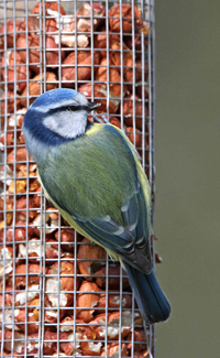 Blue Tit by Jill Pakenham