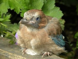 Fledgling Jay (Jane Potter)