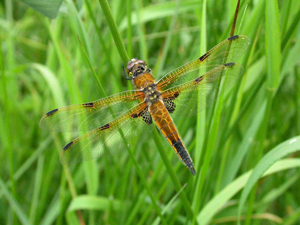 Four-spotted Chaser by Dawn Balmer