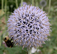 Echinops with visiting bee