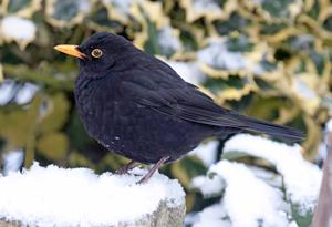 Blackbird, by John Harding