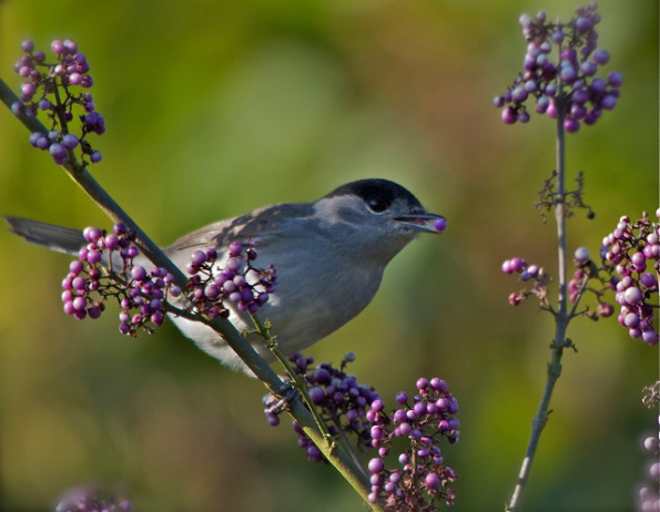 Blackcap on callicarpa (Terry Hancock)