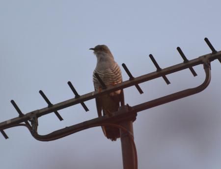 Cuckoo (Sandy Dalkin)