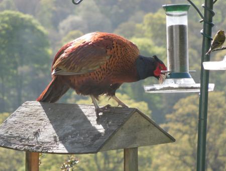 Pheasant (Elaine Johnston)