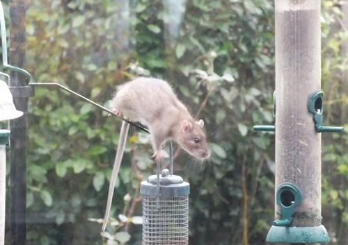 Rat (Barbara Gray)