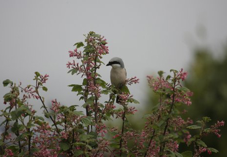 Red-backed Shrike (Dilys Lewis)