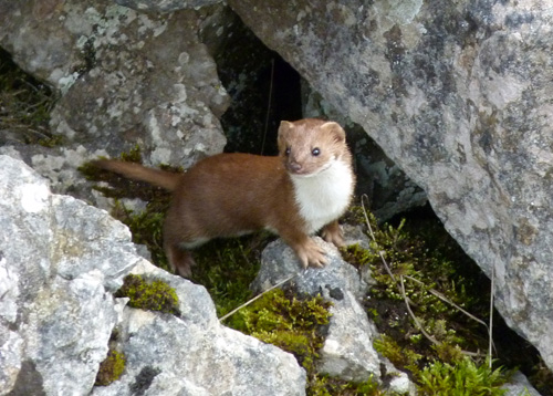 Weasel (Andy Musgrove)