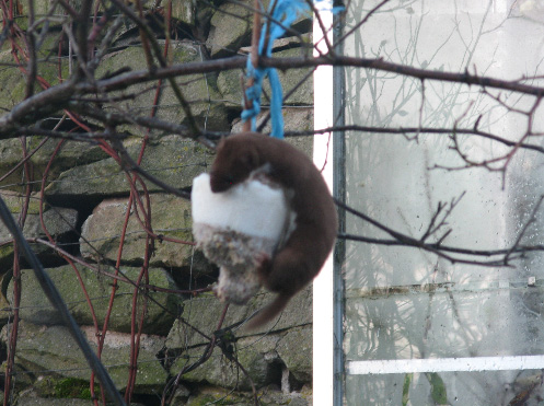 Weasel On The Feeder Bto British Trust For Ornithology