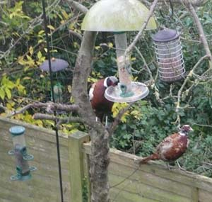 Pheasants on top of fence by Heather Hole