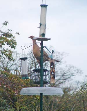 Pheasants on feeder by Holy Cross Convent.