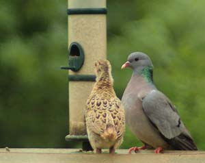 Young Pheasant and Stock Dove by Mary Williams