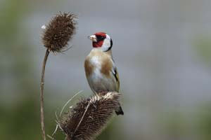Goldfinch on teasel by Mark R Taylor