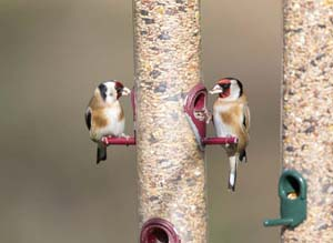 Goldfinches by Paul Newton