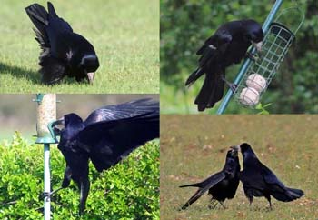 Rook behaviour. Photos by Margaret Holland, Peter Ford and Sandy Dalkin.