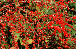 Cotoneaster berries, by Tommy Holden