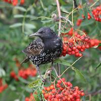 Starling, by John Harding