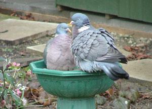 Woodpigeons, by Josie Latus