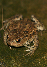 Common Toad by Mike Toms