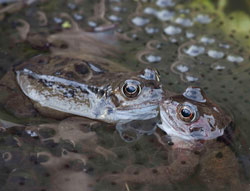 Common Frogs, one of the species covered by GWH. John Harding