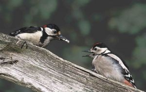 Great Spotted Woodpeckers (Jill Pakenham)