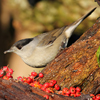 Blackcap, by Nick Stacey
