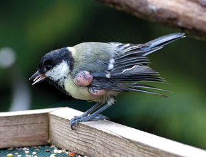 Great Tit with avian pox, by Dave Wragg