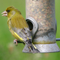 Greenfinch, by Jill Pakenham